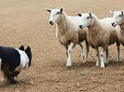 Lead Nurturing Sheep