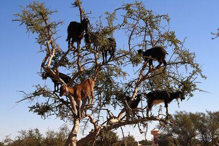 Rather than flying, the Moroccan goats climb the gnarled truck and hop from branch to branch.
