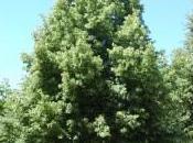 Plant Week: Tilia Cordata