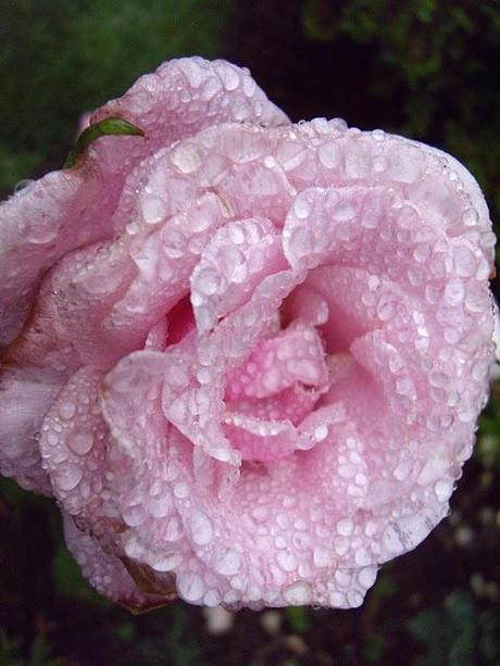 The Tao of Raindrops on Roses