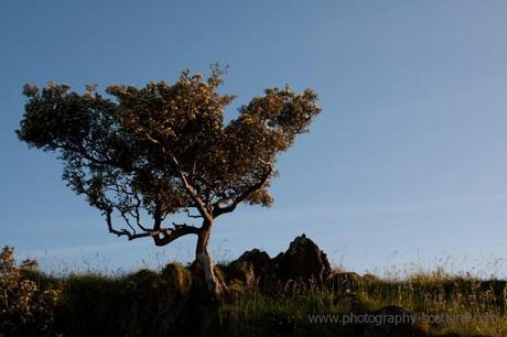 Image - tree in the evennig light on Lismore island, Scotland
