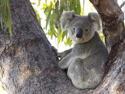 Koalas under threat
