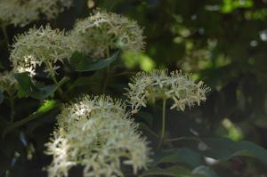 Viburnum lantana flower (26/05/2011)