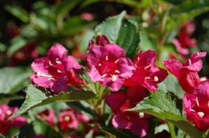Weigela florida 'Bristol Ruby' flower (26/05/2011, Prague)