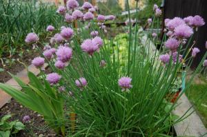 Allium schoenoprasum (28/05/2011, Vsetin)