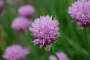 Allium schoenoprasum flower (28/05/2011, Vsetin)