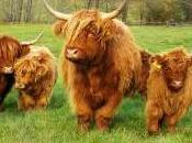 Featured Animal: Highland Cattle
