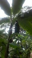 Jamaica banana trees