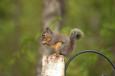 The Douglas Squirrel, American Red Squirrel