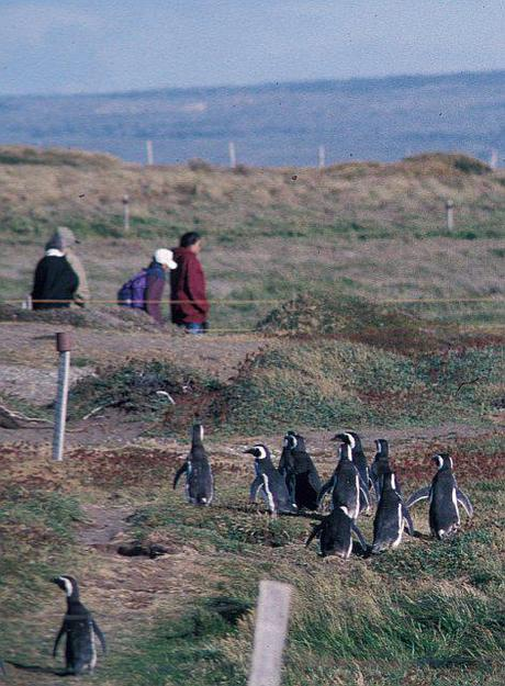 Patagonian Penguins