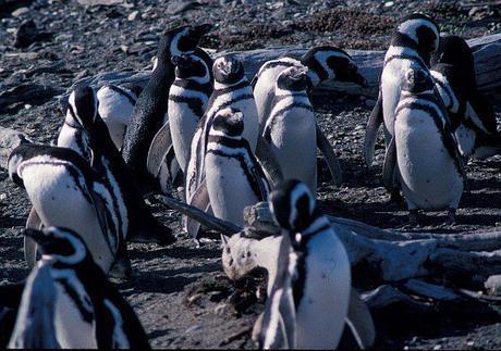Patagonian Penguins