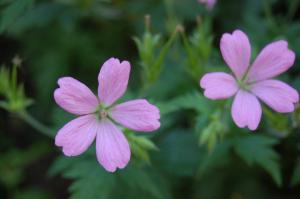 Geranium 'Wargrave Pink' flower (03/06/2011)