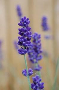 Lavandula 'Hidcote Blue' flower (03/06/2011, London)