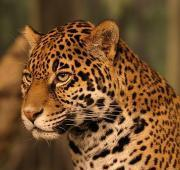 featured-animal-jaguar-L-gFQfU ...