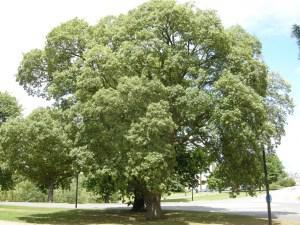 Quercus suber (08/06/2011, Cambridge)