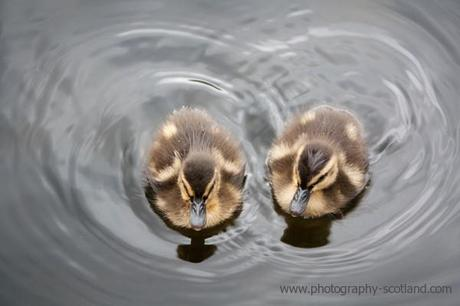 Photo - 2 ducklings, seen from above