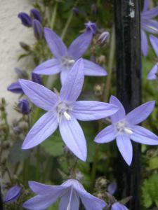 Campanula poscharskyanaflower(07/05/2011, London)
