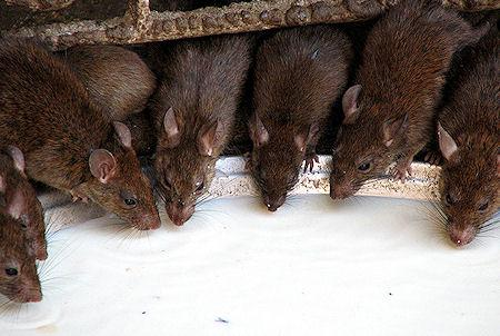 The Holy Rats Of Karni Mata