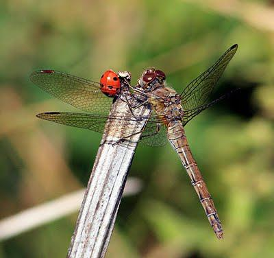 LADYBIRDS AND DRAGONFLIES