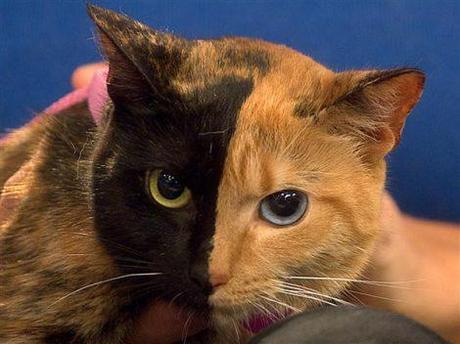 Two-Faced Venus is one cat or two cats?