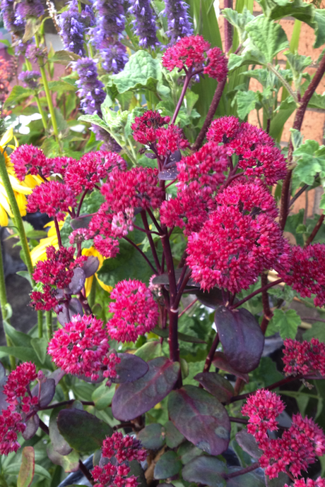 Sedum_red_cauli