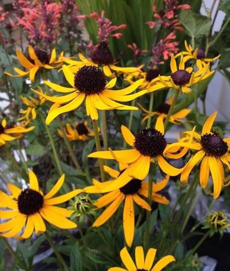 Rudbeckia_little_goldstar