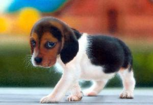 Beagle Puppy: Image by Filmismylove, Flickr