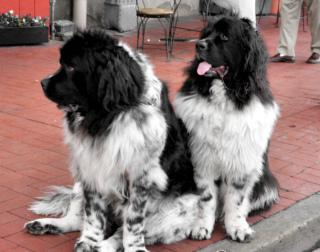 Newfoundland Breed: Image by Mambo'Dan, Flickr