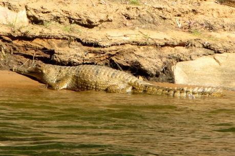 Katherine Gorge croc