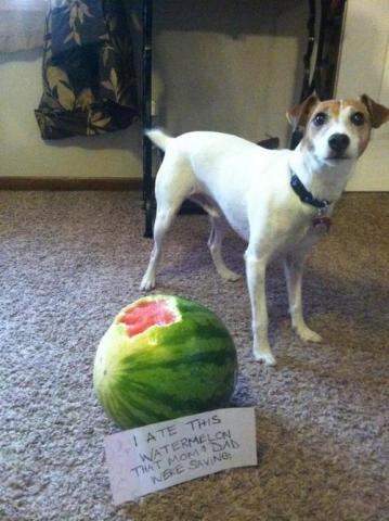 Shamed Dog, Watermelon Man: image via dog-shaming.com