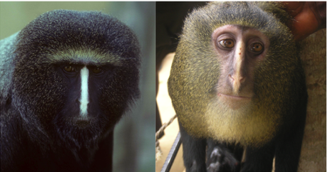 Adult Lesula monkey (left), and young Lesula monkey (right): images by J Hart via www.plosone.org