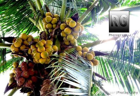 Chicka Boom Coconut Tree Image