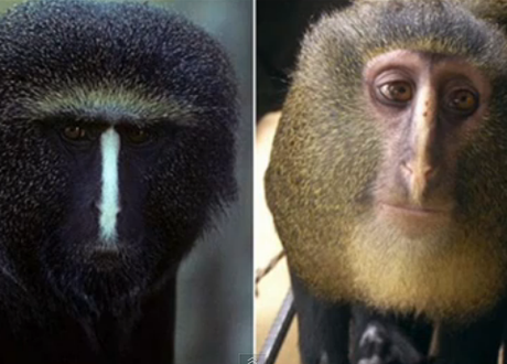 New species of monkey with enormous blue bottom discovered