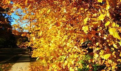 yellow fall leaves photo Fall Color ~ Designing with Shades of Yellow HomeSpirations