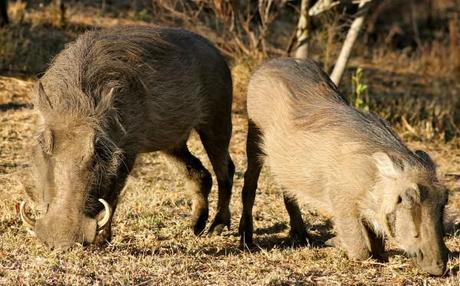 hluhluwe game reserve picture of warthogs eating