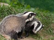 First Badger Cull Licence Issued England
