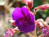 Plant Week: Tibouchina Urvilleana