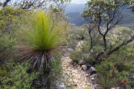 grass tree on mount abrupt track