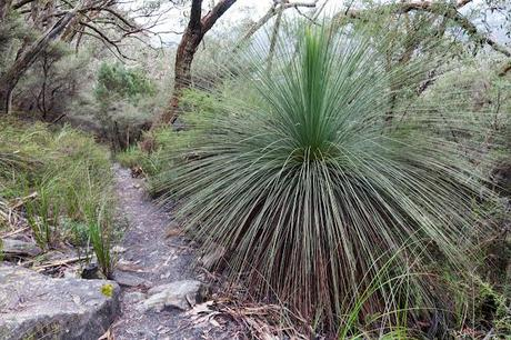 grass tree next to mount abrupt track