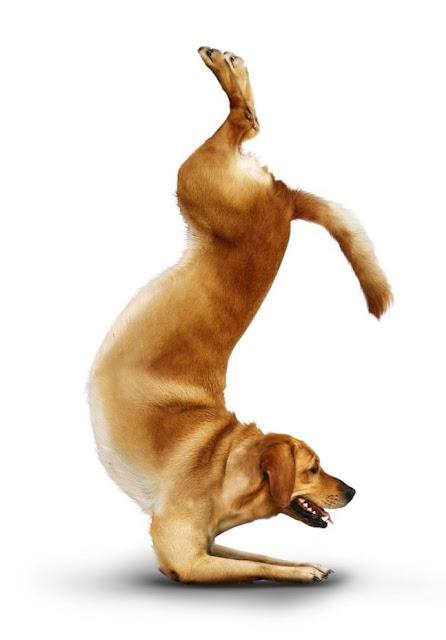 Dogs That Perform Yoga 365 Days a Year! - Paperblog