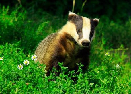 Let them eat badger: Badger cull prompts call to barbecue the beasts