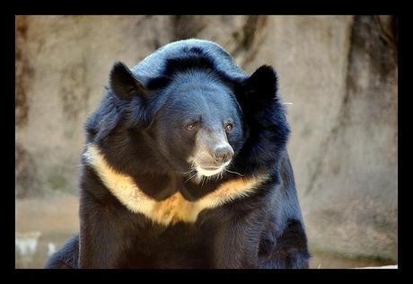 Mother Bear Kills Cub Amp Self To Escape Life Of Torture