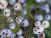 Plant Week: Dianella Tasmanica