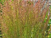 Calamagrostis (Feather Reed Grass) Dorado'