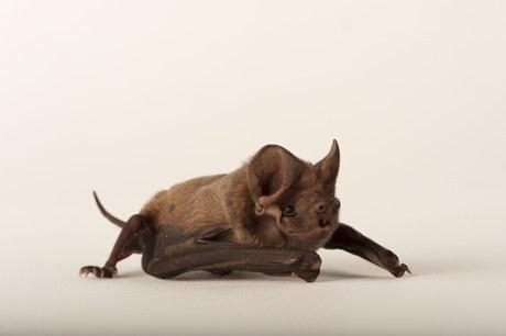 Florida's Largest, Rarest Bat Proposed for Endangered Species Act Protection