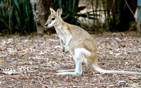 Wallaby near Nitmiluk National Park, Northern Territory, Australia