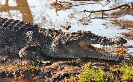 Croc seen in the Yellow Water Billabong in Kakadu National Park, Northern Territory, Australia