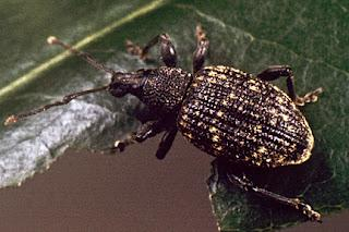 Banish the Evil Weevil