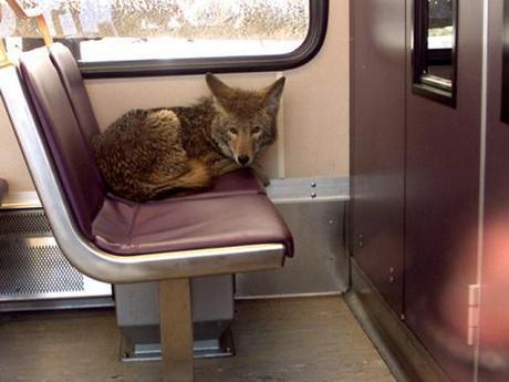 Large Predators Moving to the City: Urban Coyotes on the Rise