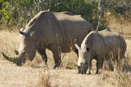 Rhino mother and baby in Hluhluwe-Umfolozi Game Park, South Africa